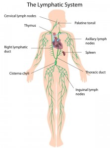 The lymphatic system drains into the subclavian vein in front and under the shoulders.