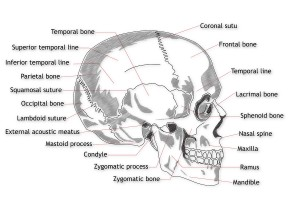The sutures of the skull actually move rhythmically.  These joints are often become stuck with trauma.